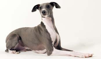 Pottermore... Dites-nous tout ! Italian-greyhound